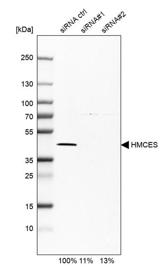 HMCES Antibody in Western Blot (WB)