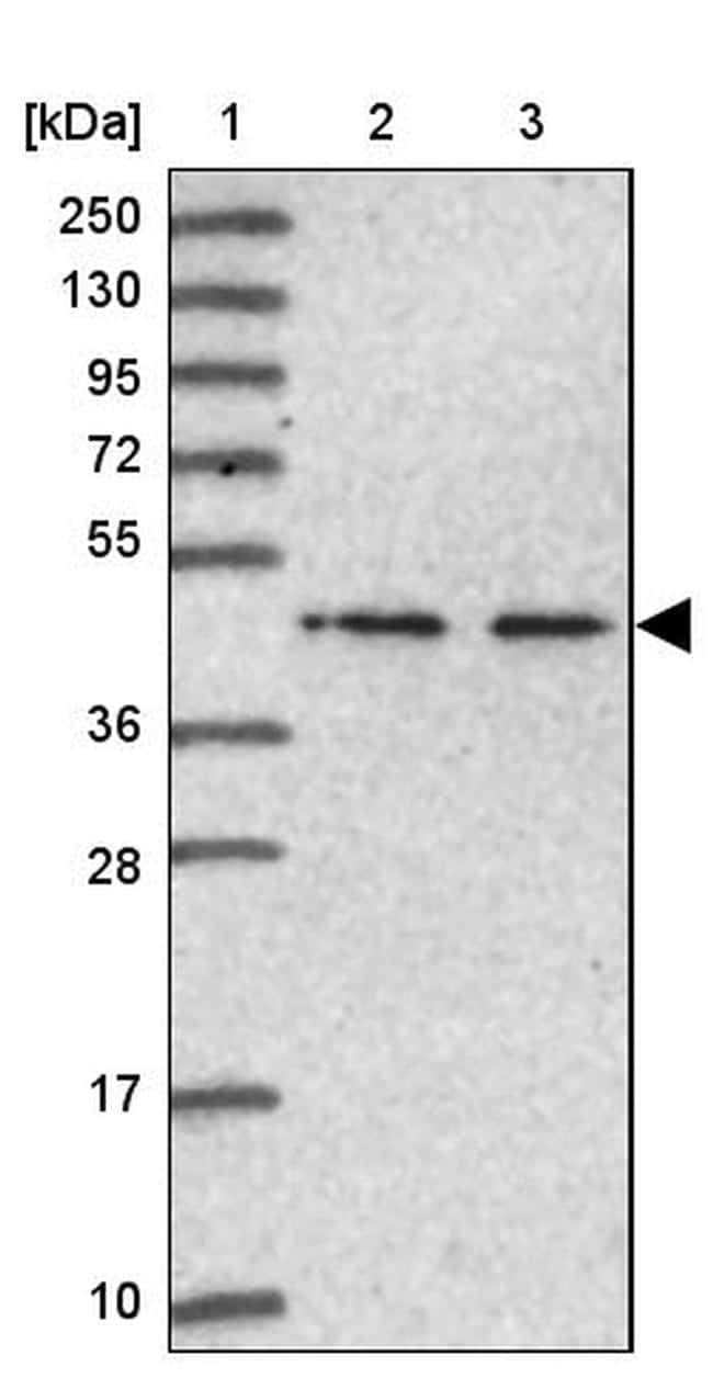NSUN6 Antibody in Western Blot (WB)