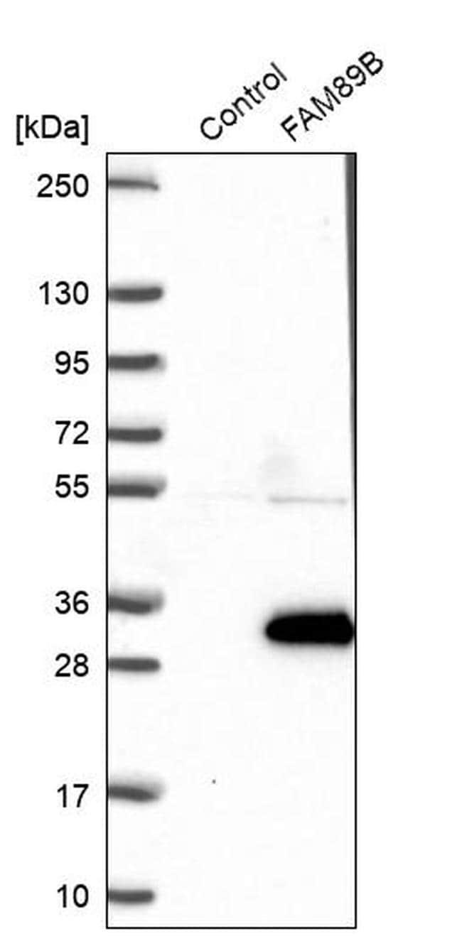 FAM89B Antibody in Western Blot (WB)
