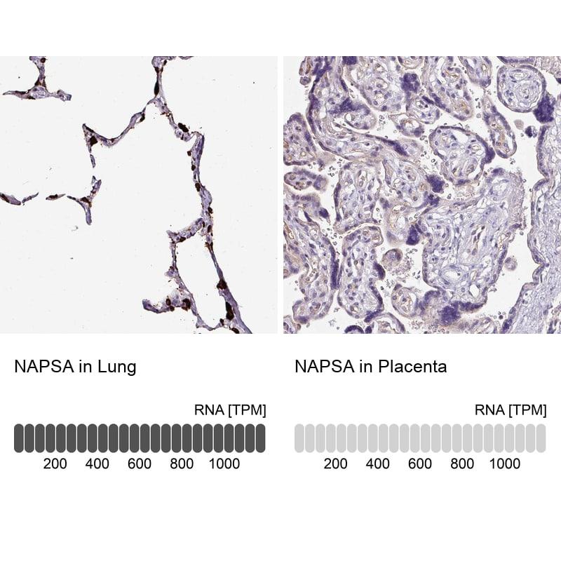 NAPSA Antibody