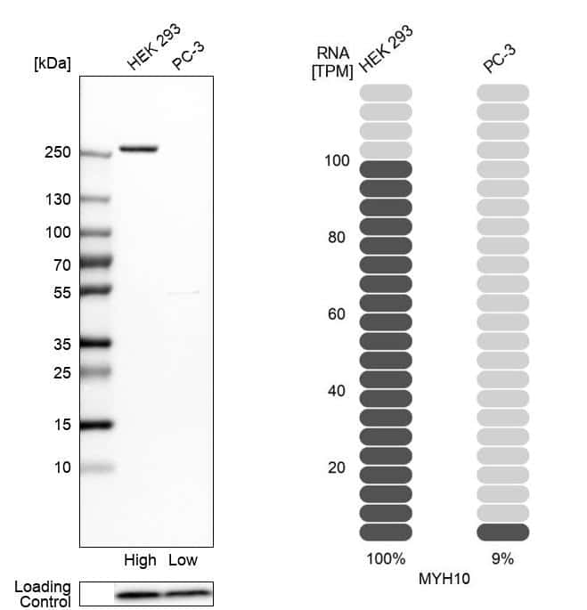 MYH10 Antibody in Relative expression