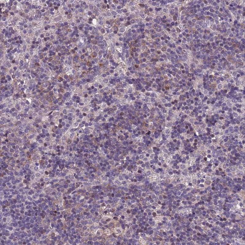 AMICA Antibody in Immunohistochemistry (IHC)