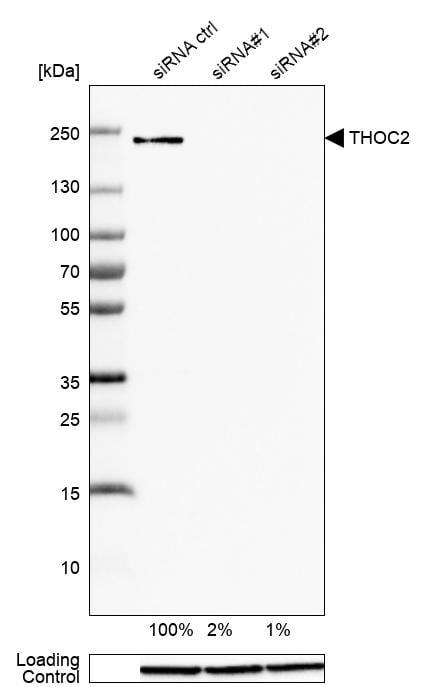 THOC2 Antibody in Knockdown