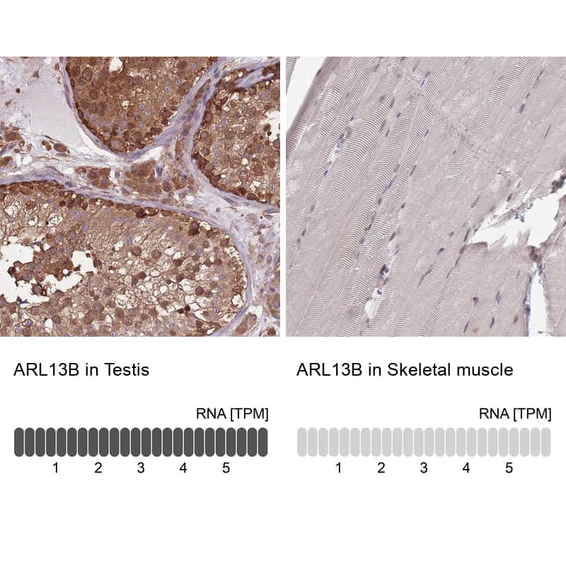 ARL13B Antibody in Relative expression