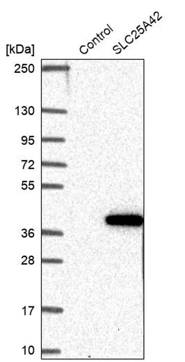 SLC25A42 Antibody in Western Blot (WB)