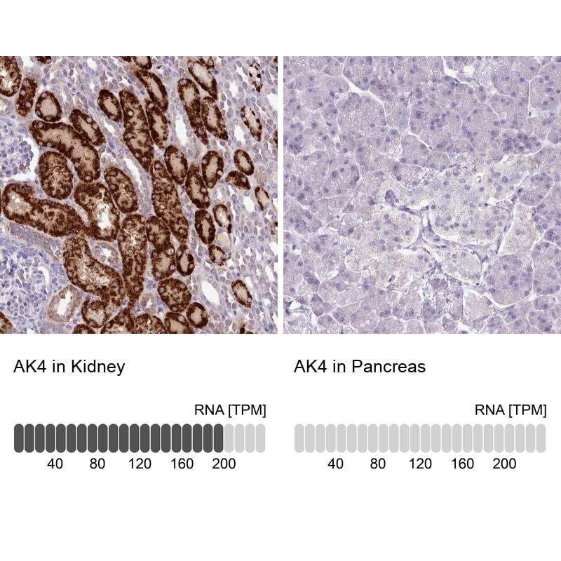 Adenylate Kinase 4 Antibody