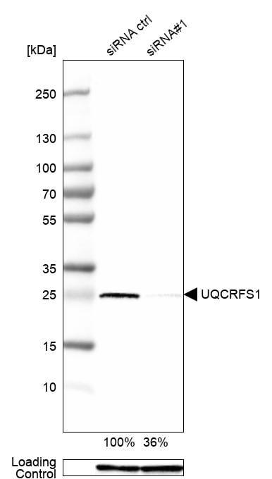 UQCRFS1 Antibody in KnockDown