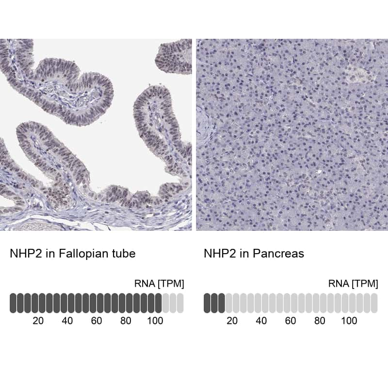NHP2 Antibody in Relative expression