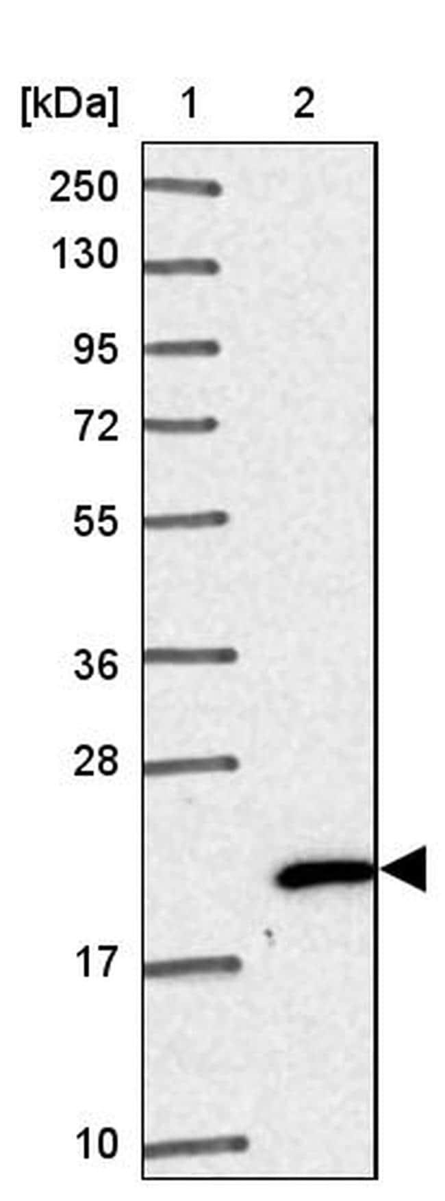 NHP2 Antibody in Western Blot (WB)