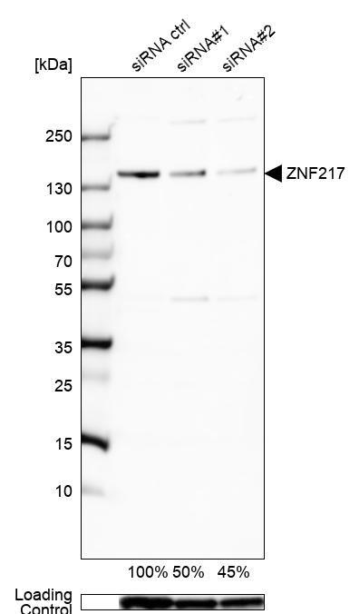 ZNF217 Antibody in Knockdown