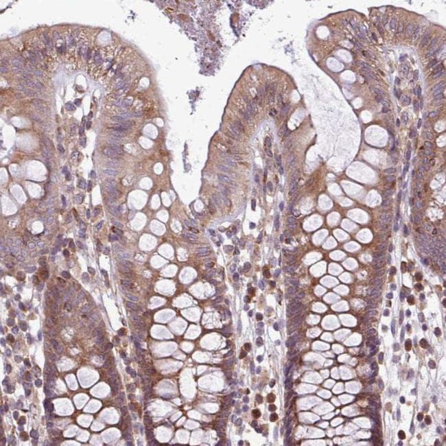 MEGF6 Antibody in Immunohistochemistry (IHC)