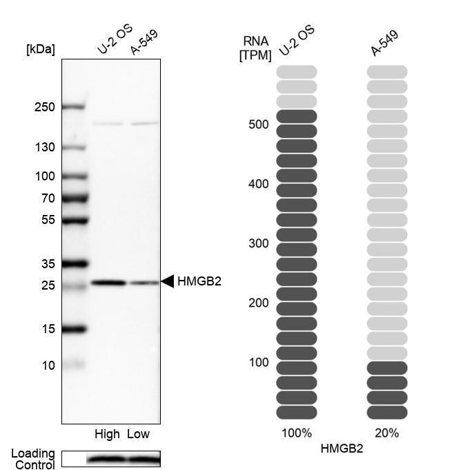 HMGB2 Antibody in Relative expression
