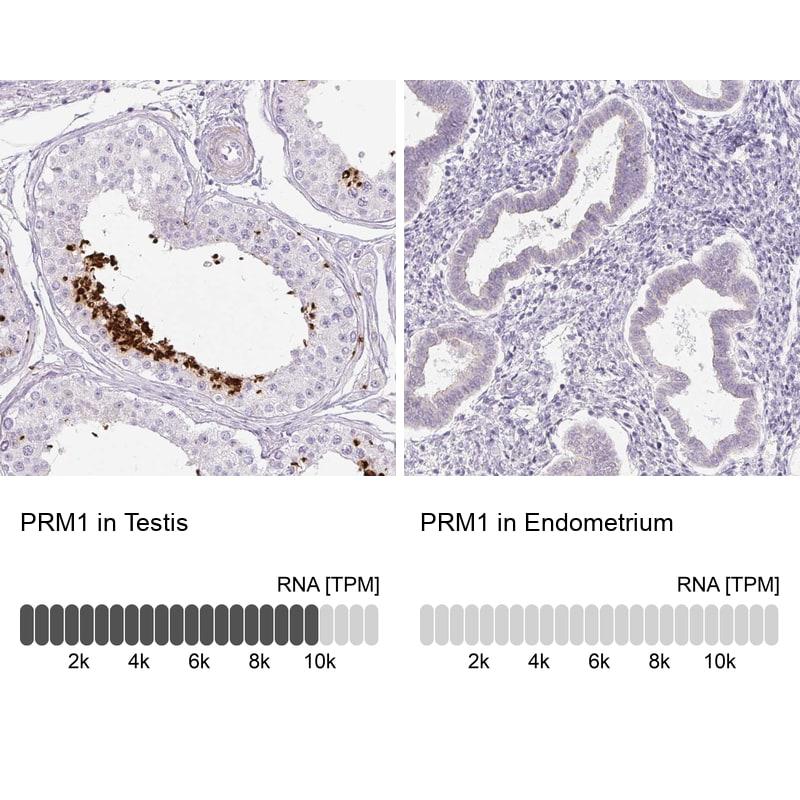 PRM1 Antibody