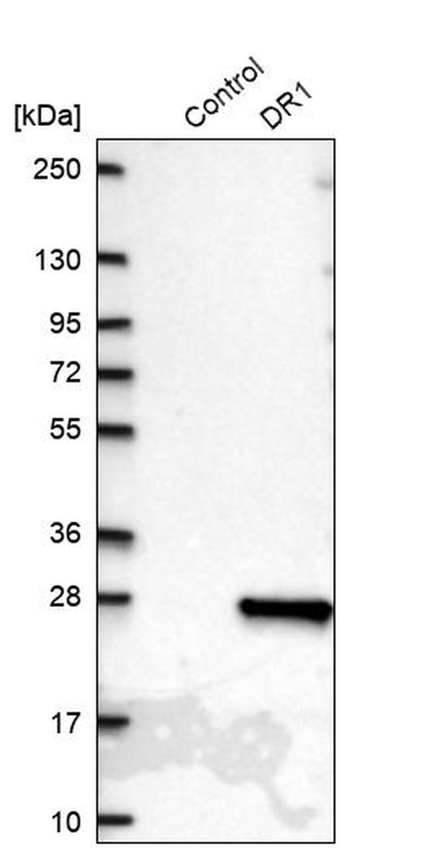 DR1 Antibody in Western Blot (WB)