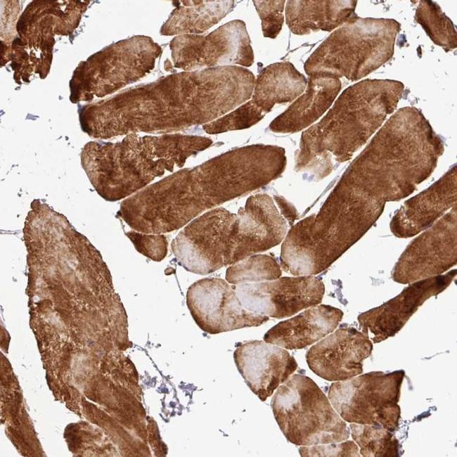 C1QTNF9 Antibody in Immunohistochemistry (IHC)