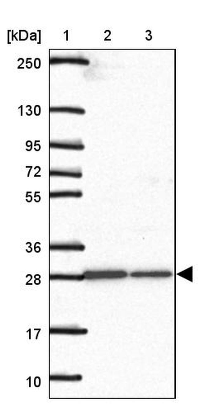 C1QTNF9 Antibody in Western Blot (WB)