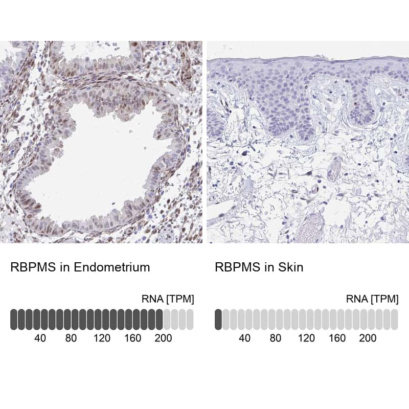 RBPMS Antibody in Relative expression