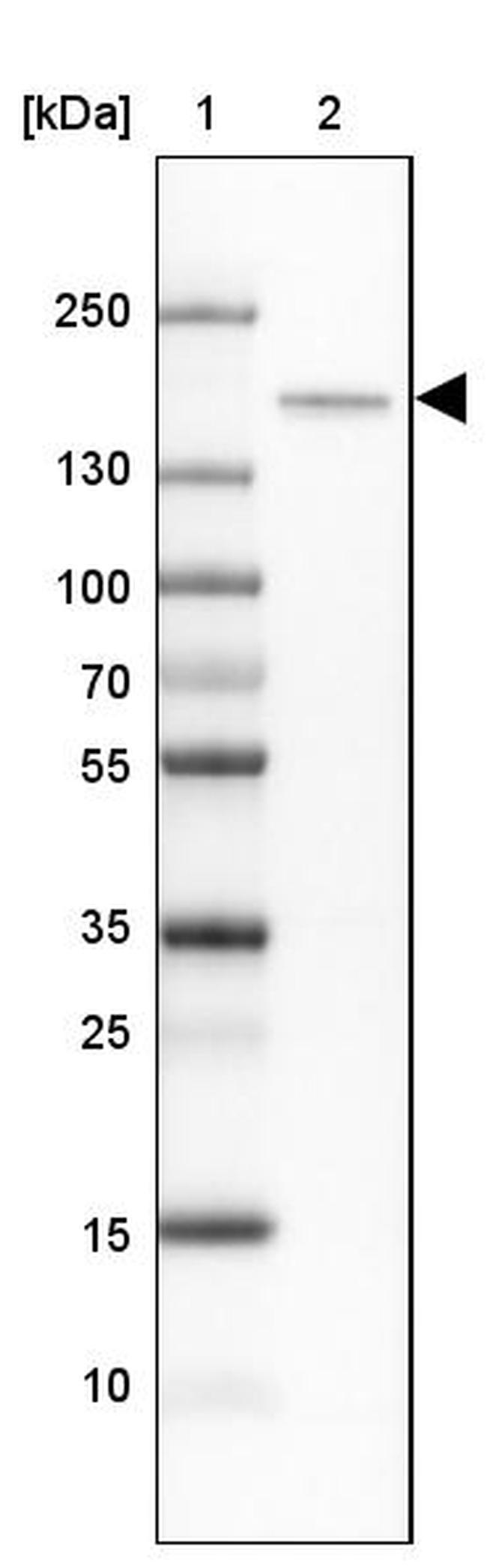 CNTNAP4 Antibody in Western Blot (WB)