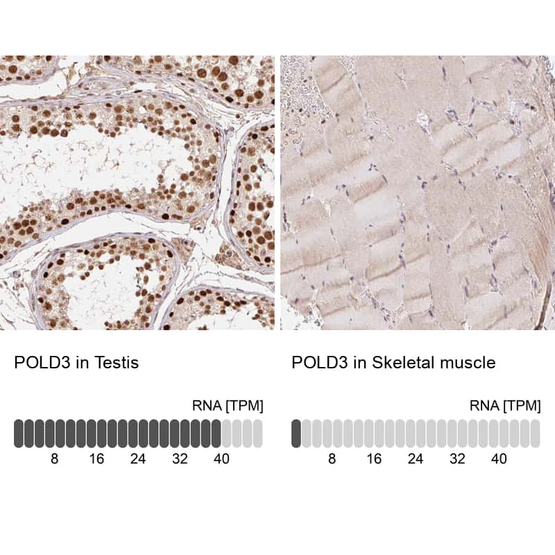 POLD3 Antibody in Relative expression
