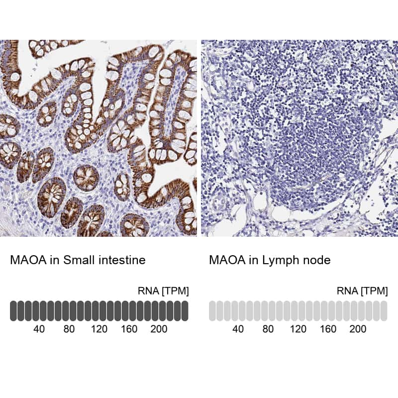 MAOA Antibody in Relative expression