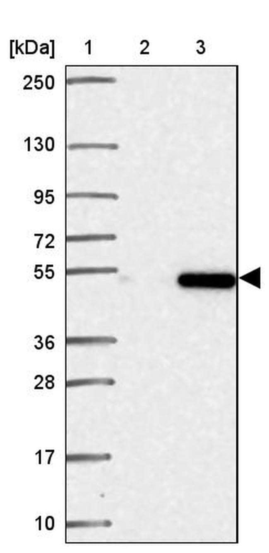 HINFP Antibody in Western Blot (WB)