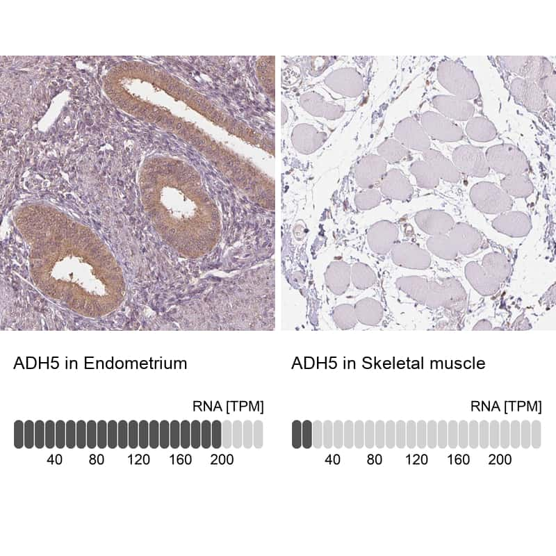 ADH5 Antibody in Relative expression