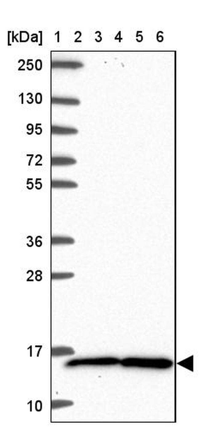 TAX1BP3 Antibody in Western Blot (WB)