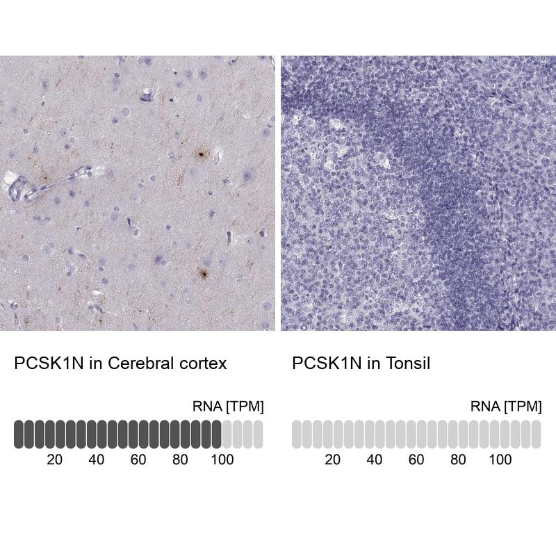 PCSK1N Antibody in Relative expression