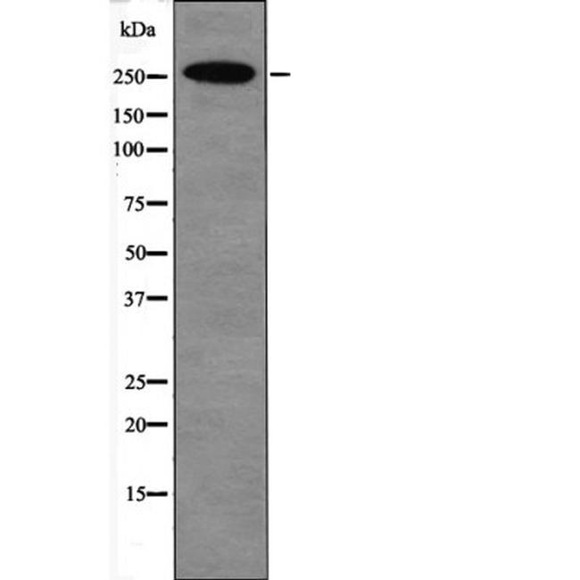 Phospho-p300 (Ser1834) Antibody in Western Blot (WB)