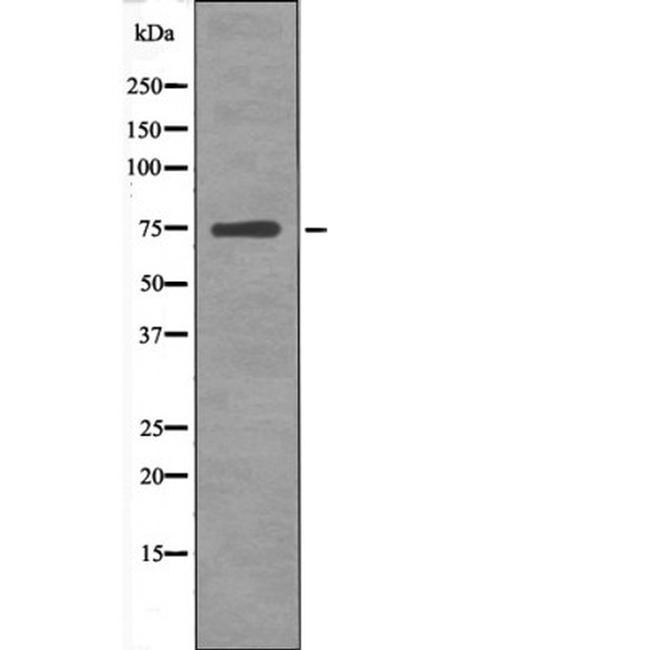 Phospho-ARK5 (Ser600) Antibody in Western Blot (WB)