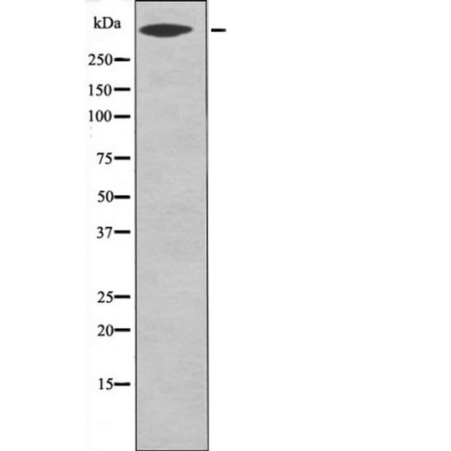 Phospho-LRP1 (Ser4520) Antibody in Western Blot (WB)