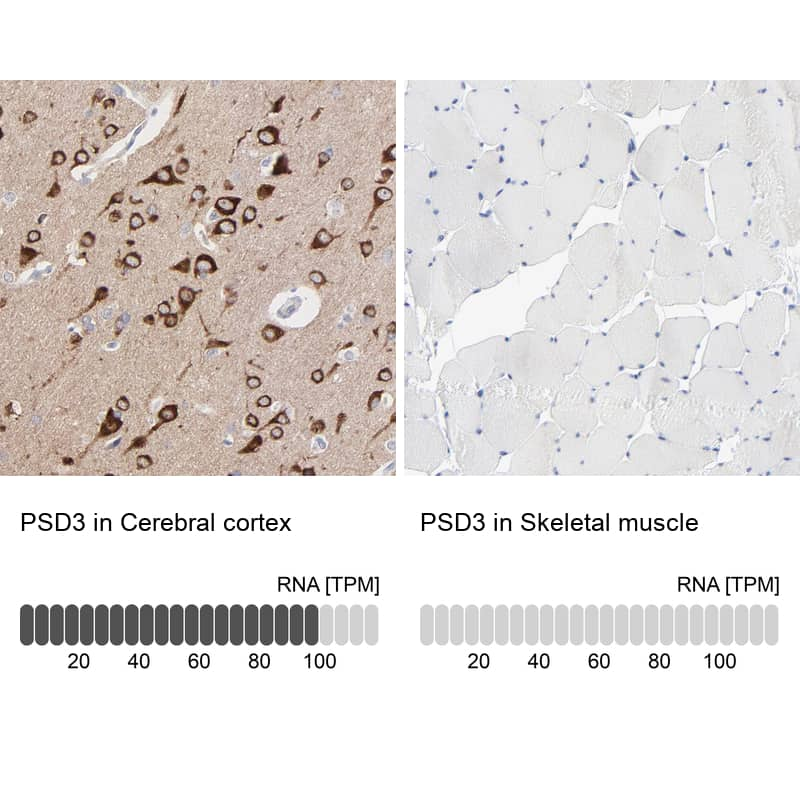 PSD3 Antibody in Relative expression