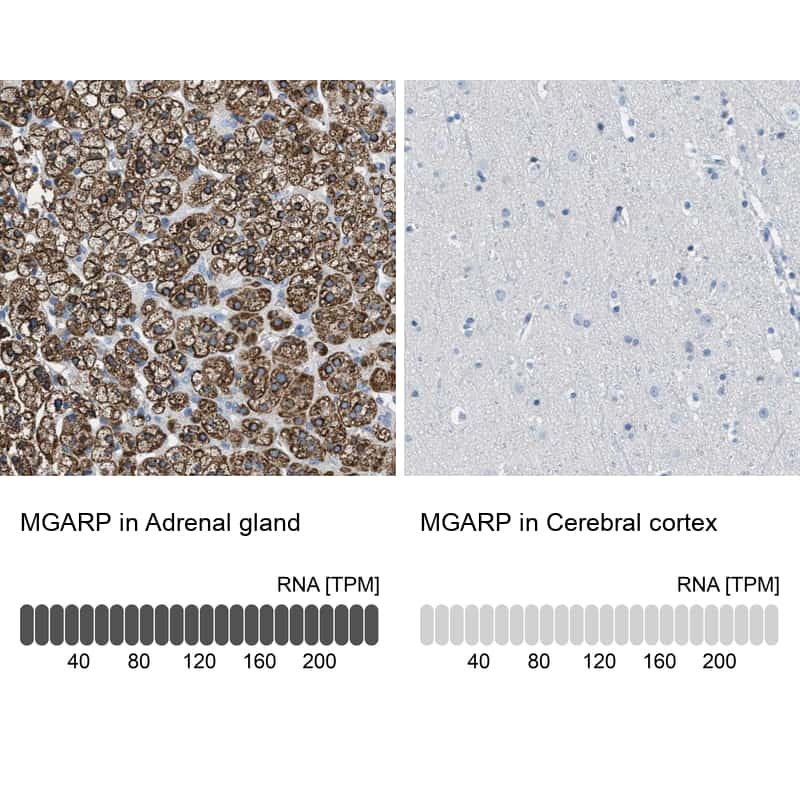 MGARP Antibody in Relative expression