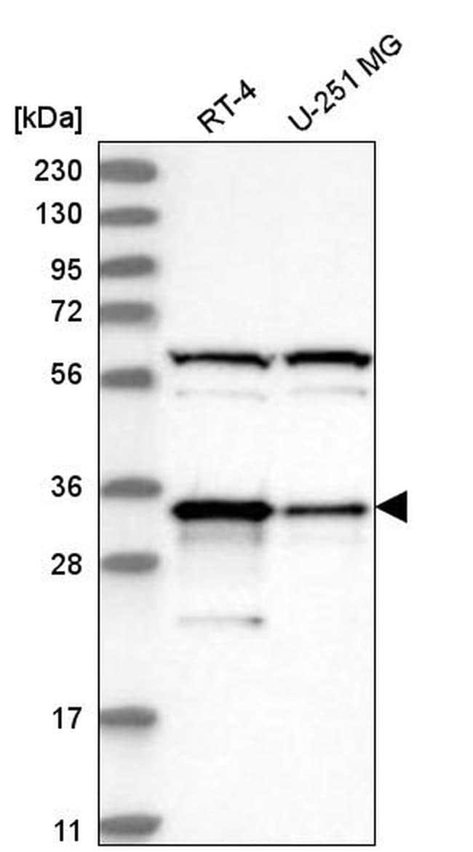 PACT Antibody in Western Blot (WB)