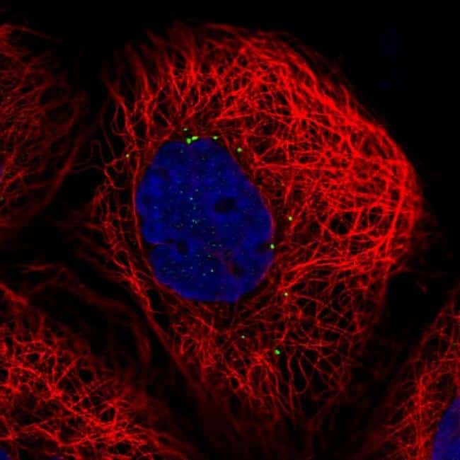 CTNS Antibody in Immunofluorescence (IF)
