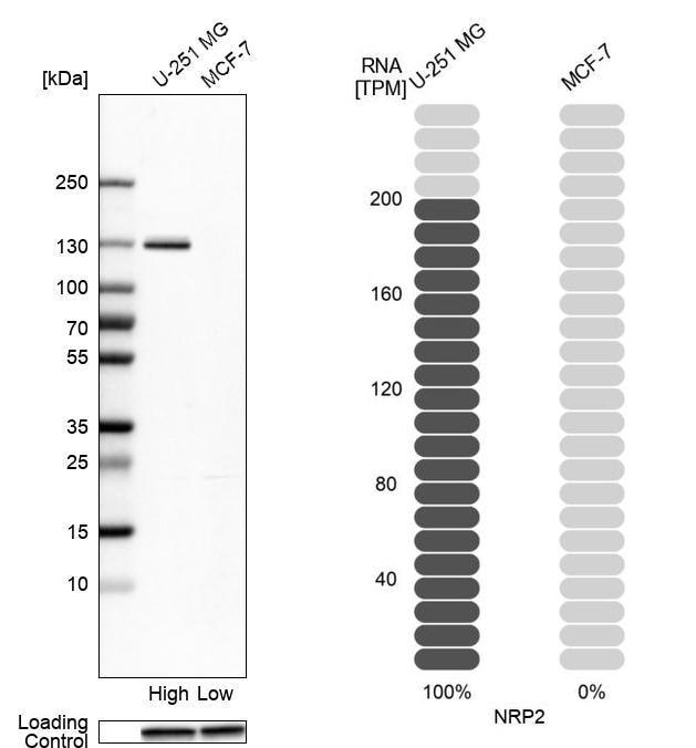 Neuropilin 2 Antibody in Relative expression