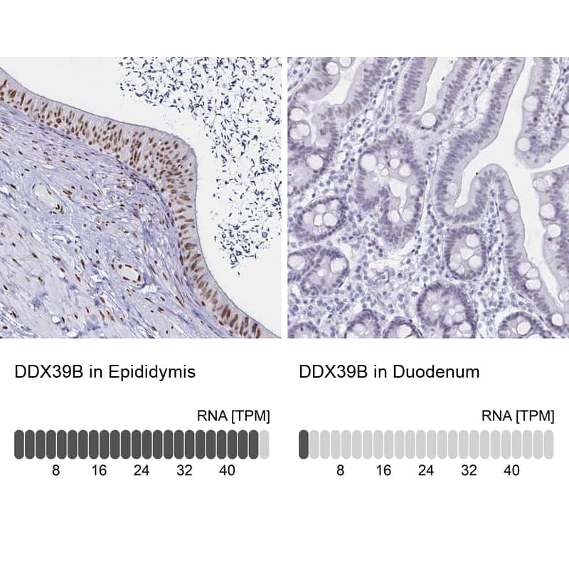 UAP56 Antibody in Relative expression