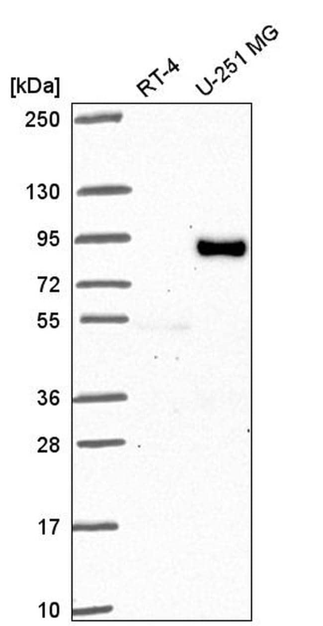 FIG4 Antibody in Western Blot (WB)