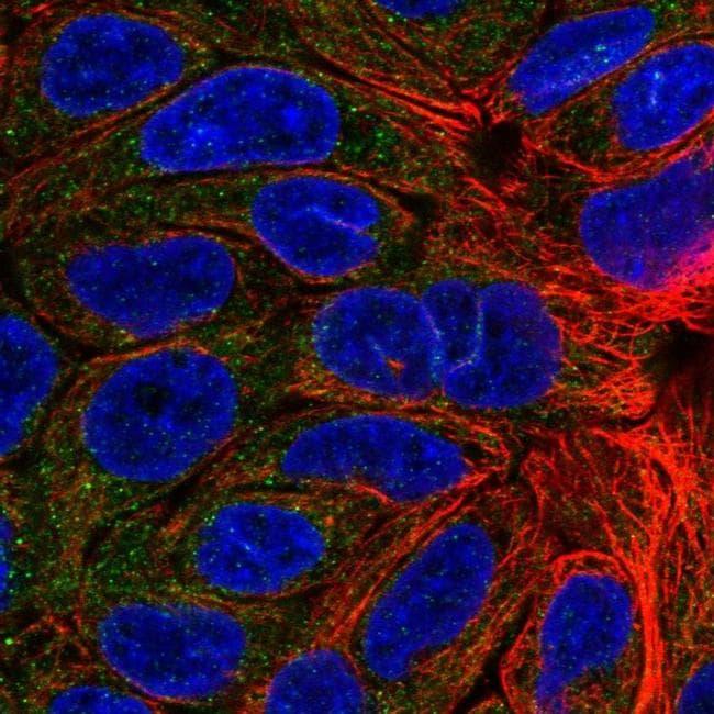 KCNMB4 Antibody in Immunofluorescence (IF)