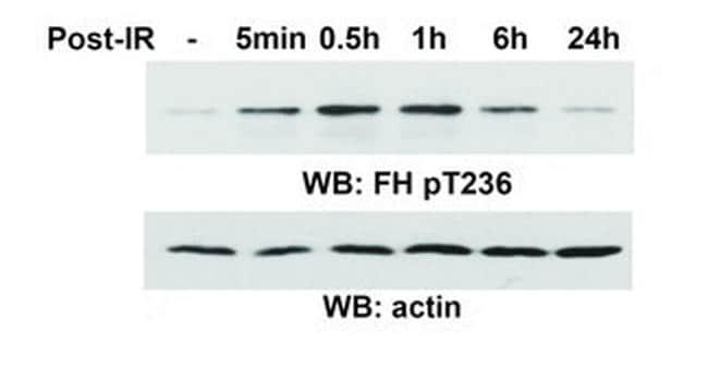 Phospho-Fumarase (Thr236) Antibody in Western Blot (WB)