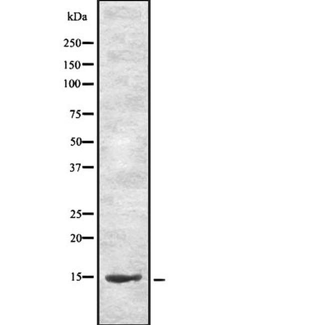 CEND Antibody in Western Blot (WB)