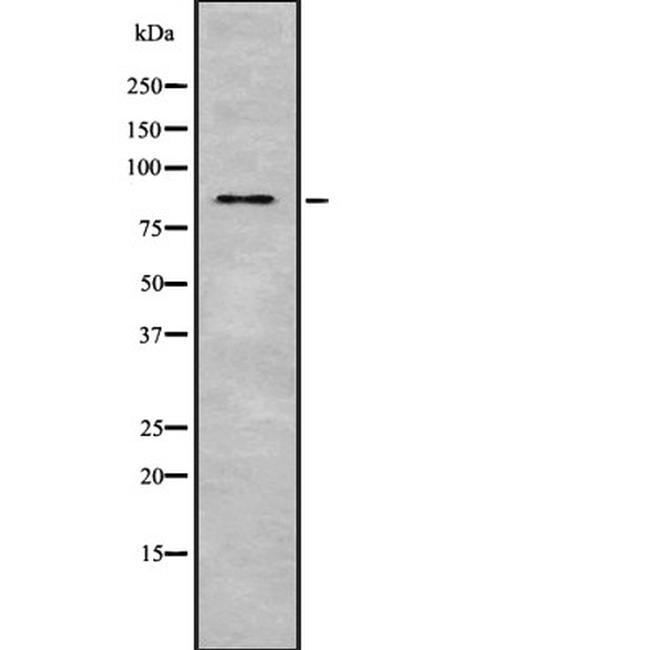 ZBTB17 Antibody in Western Blot (WB)