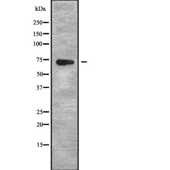 PAOX Antibody in Western Blot (WB)
