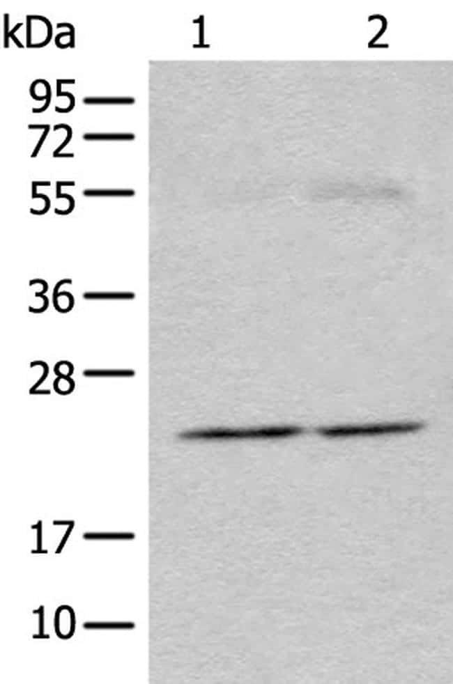 CAPS1 Antibody in Western Blot (WB)