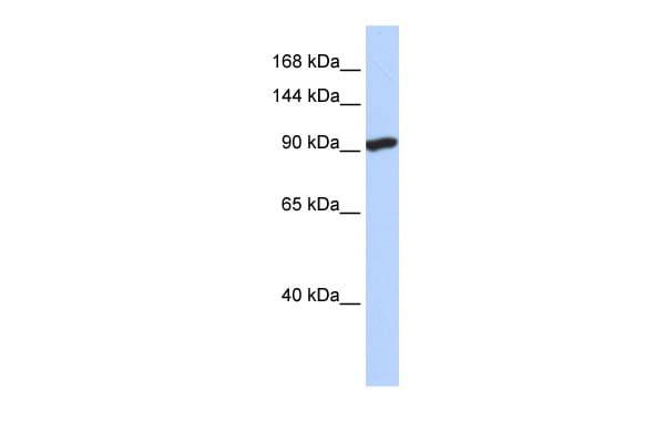 SIDT2 Antibody in Western Blot (WB)