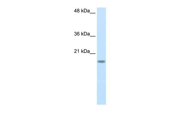 RPS14 Antibody in Western Blot (WB)