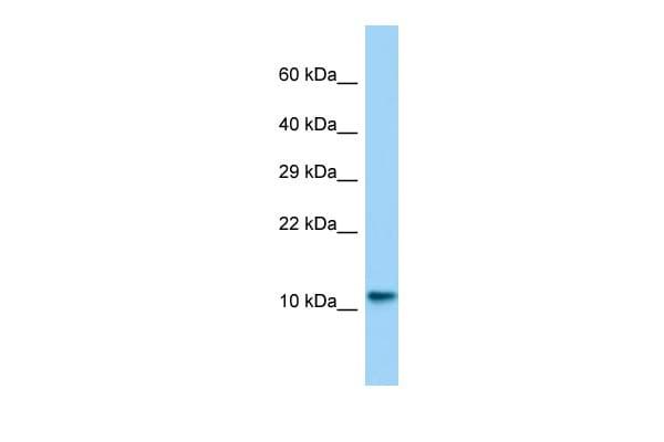 Lsm10 Antibody in Western Blot (WB)