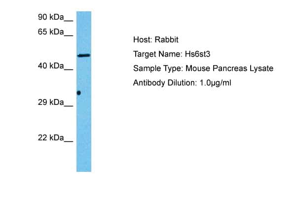 Hs6st3 Antibody in Western Blot (WB)