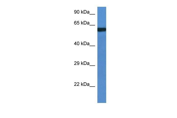 UAP1L1 Antibody in Western Blot (WB)