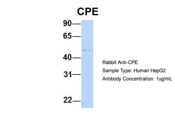 Carboxypeptidase E Antibody in Western Blot (WB)